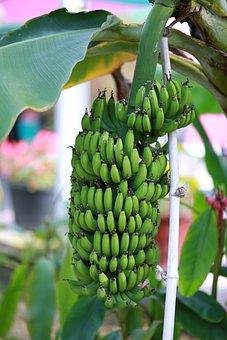 Bananas, Plants, Botanical Garden, Fruit, Green, Fresh