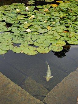 Koi, Koi Pond, Fish