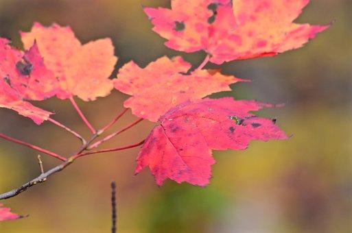 Leaves, Fall, Autumn, Nature, Foliage, Leaf, Maple