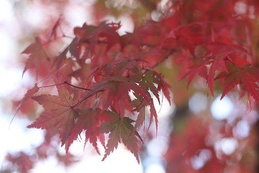 Nature, Momiji, Aki, Maple, Japan, Fall, Leaf, Red