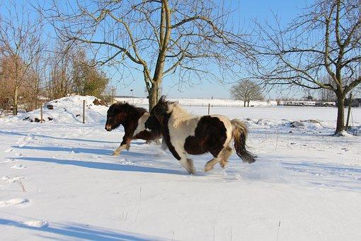 Shetland Pony, Shetlander, Pony, Snow, Gallop, Mare