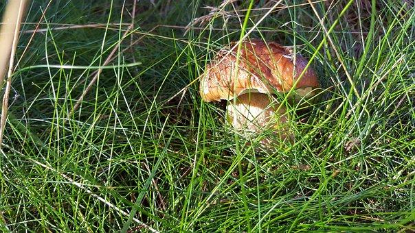 Mushroom, Grass, Wild Mushroom, Spore, Sponge, Fungus