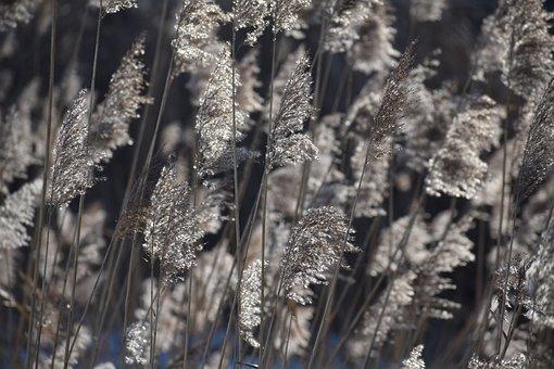 Reeds, Light, Nature, Plants, Plant