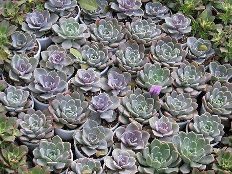 Succulent, Garden, Cactus, Nature, Plant, Botanical