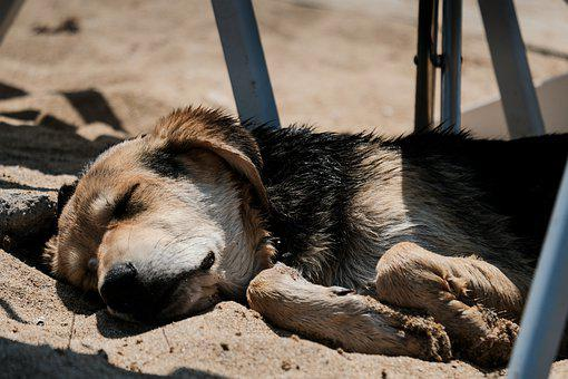Dog, Sleep, Sand, Puppy, Sleeping, Pet, Tired, Animal
