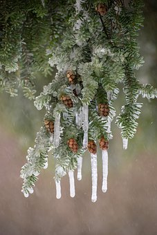 Hemlock, Flash Freeze, Icicle, Snow, Pine Cones, Winter