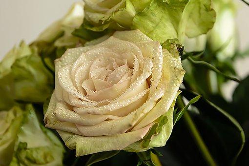 Rose, Valentine, Love, Romantic, Romance, Background
