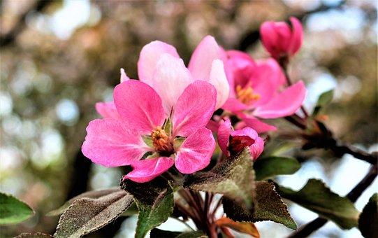Pink Blossom, Pink, Apple, Flower, Nature, Bloom