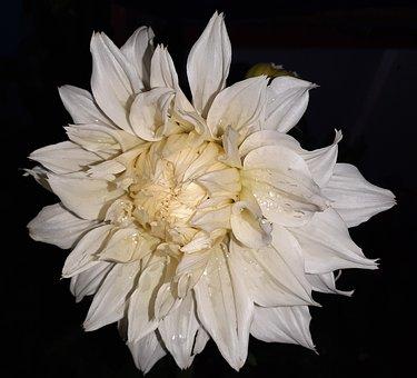 Flower, Dahlia, Bloom, Blossom, Plant, Flora, Nature