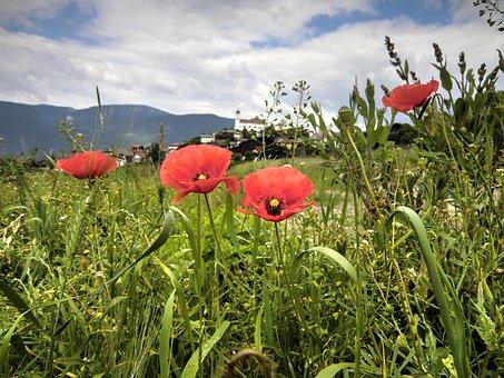 Klatschmohn, Blume, Flower, Nature, Plant, Mohngewaechs