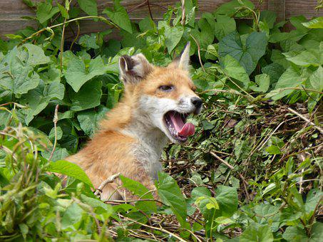Young Fox, Yawning, British, Small Teeth, Leaves