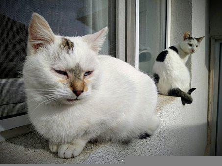 White Cat, White Cats, Cats At The Window