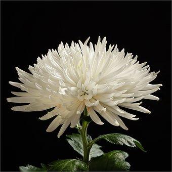 Crysanteme, Flower, Blossom, Bloom, Nature, Flora
