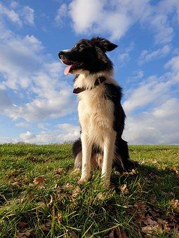 Dog, Border Collie, Collie, Herding Dog, Pet