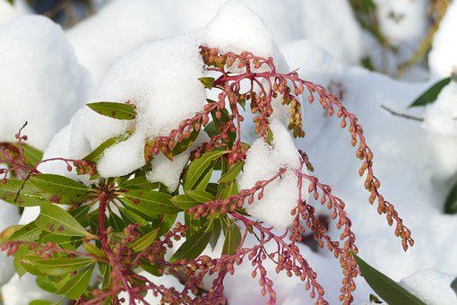 Plant, Bush, Flora, Snow, Winter, Cold, Garden, Nature