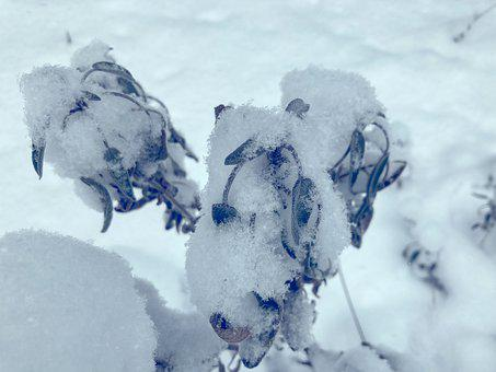 Sage, Plant, Wilted, Leaves, Herbs, Salvia, Winter