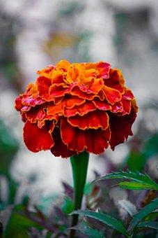 Flower, Garden, Bloom, Chrysanthemum, Nature, Blossom