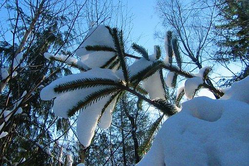 Snow, Conifer, Branch, Nature, Landscape, Forest