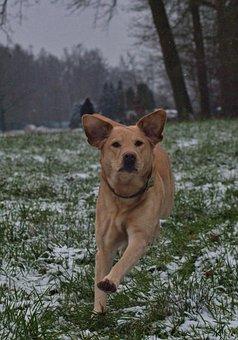 Dog, Funny, Labrador, Puppy, Cute, Pet, Animal, Fun