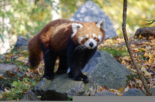 Zoo, Animals, More, Nature, Out, Red Panda