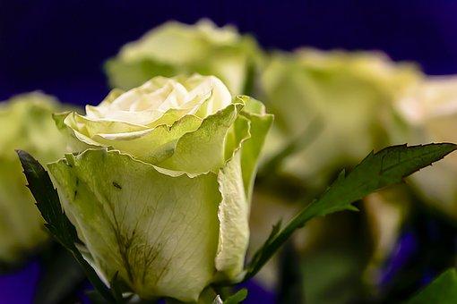 Rose, Valentine, Love, Flower, Roses, Bloemengroet