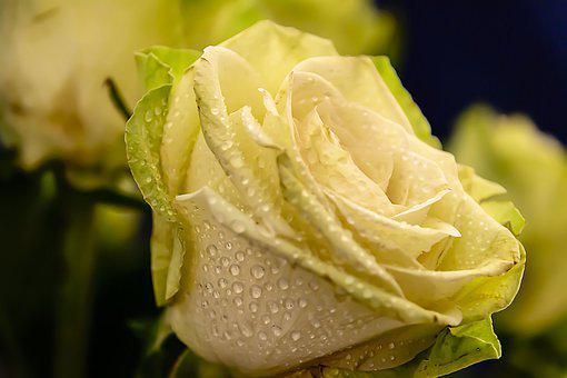 Roses, Rose, Love, Valentine, Flower, Romance, Petals