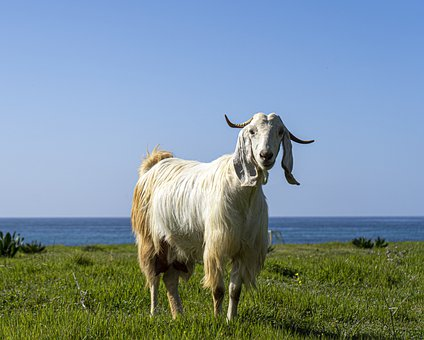 Goat, Sea, Seascape, Animal, Standing, Mottle, Grass