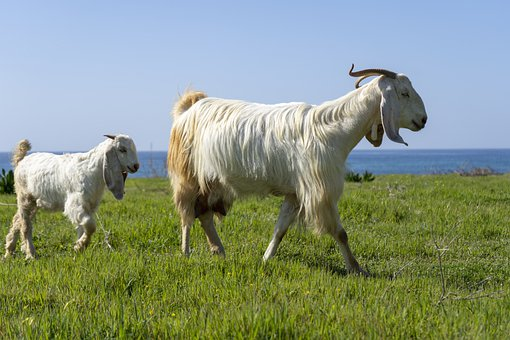 Goats, Baby, Kid, Sea, Seascape, Animals, Standing