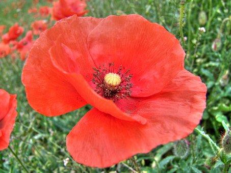 Klatschmohn, Blume, Flower, Nature, Plant, Summer