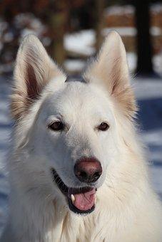 White Shepherd, White Swiss Shepherd, Schäfer Dog, Pet