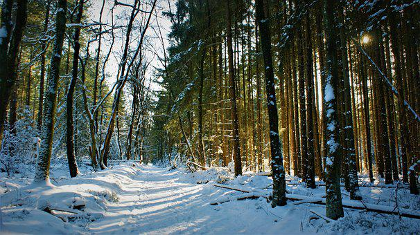 Coniferous Trees, Sunlight, Snow, Wilderness, Forests