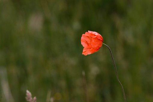 Flower, Nature, Flora, Plant, Petals, Wind, Poppy