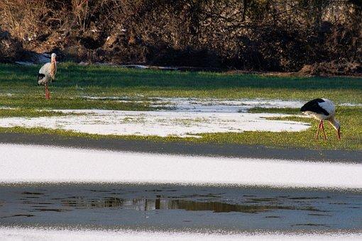 Storks, Winter, Nature, Water, Rattle Stork, Pond