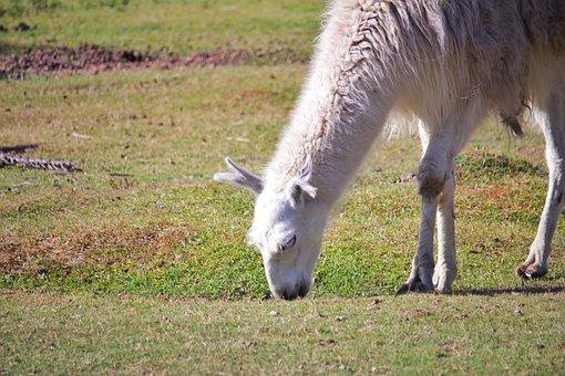 Llama, Animal, Alpaca, Peru, Lama, Camel, Wool