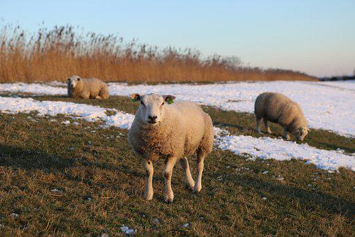 Nature, Meadow, Sheep, Animals, Landscape, Grass