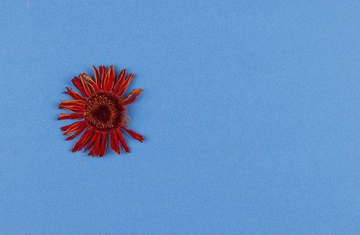 Gerbera, Dried Flower, Background, Transvaal Daisy