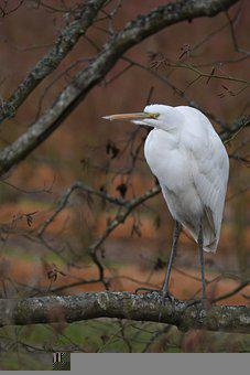 Great Egret, Wild Bird, Bird, Perched Bird, Beak