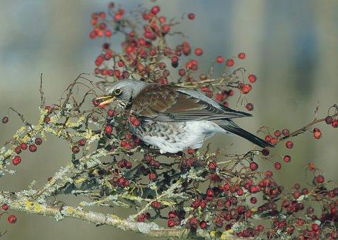 Bird, Fieldfare, Berry, Hawthorn, Red Berries, Natural
