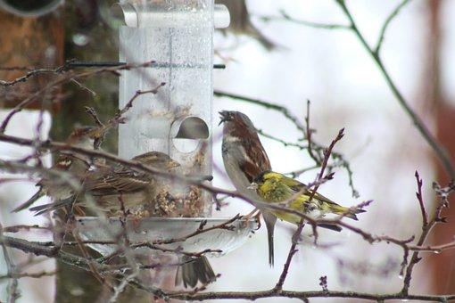 Siskins, Bird Feeding Station, Sparrows