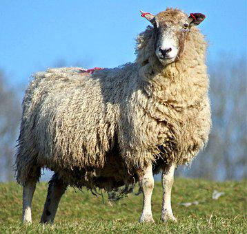 Sheep, Cattle, Wool, Animal, Agriculture, Pasture