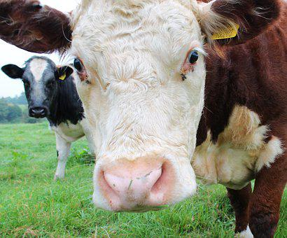 Cow, Close Up, Cattle, Nature, Agriculture, Beef