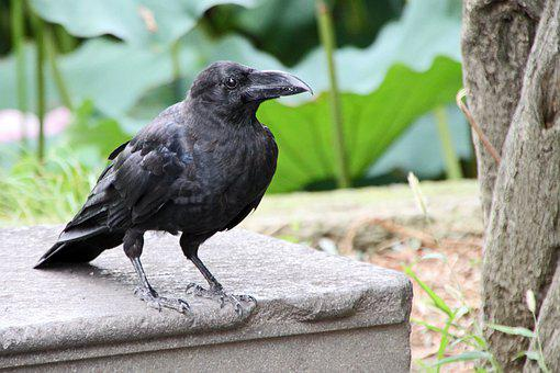 Crow, Nero, Bird, Animal, Beak, Claws