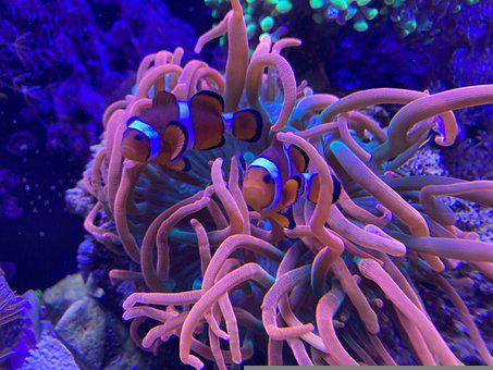 Fish, Clown Fish, Anemone, Recife, Marine Aquarium
