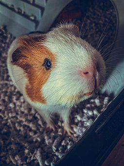 Animal, Guinea Pig, Rodent, Cute, Director, Guinea, Fur