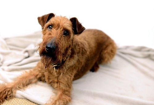 Irish Terrier, Dog, Pet, Animal, Domestic Dog