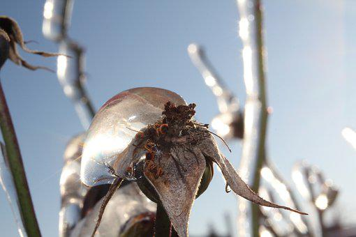 Rose, Faded, Ice, Winter, Arid, Frozen, Close Up