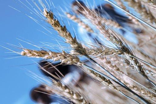Cereal, Barley, Ear, Wheat, Field, Meadow, Nature, Wind
