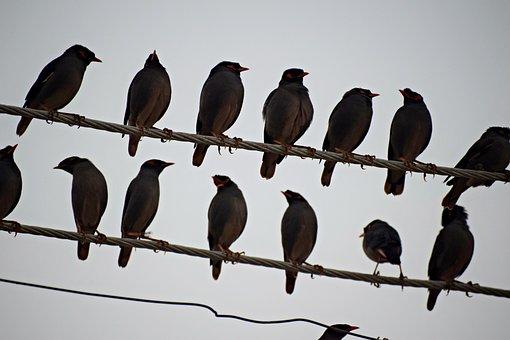 Flock Of Birds, Sitting Birds Flock, Myna, Flock, Birds