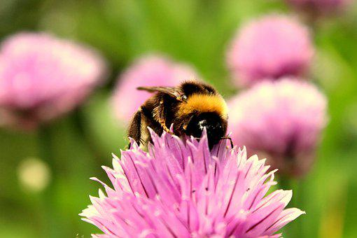 Bee, Flower, Pollinate, Pollination, Insect, Bumblebee