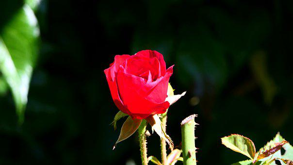 Rose, Nature, Flowers, Blossom, Bloom, Flora, Red